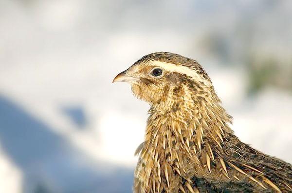 Перепілка (Coturnix coturnix), зображення птаха фото