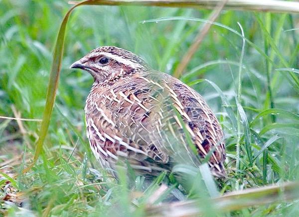 Перепілка (Coturnix coturnix), зображення фото птиці