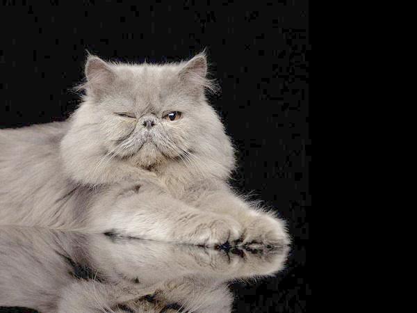 Димчаста перська кішка, фото породи кішок фотографія