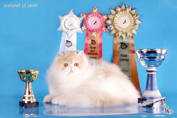 Персидська кішка екстремального типу екстремал, фото породи кішок фотографія