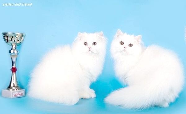 Білі перські кішки, фото породи кішок фотографія картинка