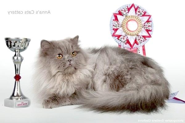 Персидський кіт класичного типу, фото породи кішки фотографія