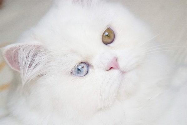 Біла перська кішка, фото породи кішки фотографія