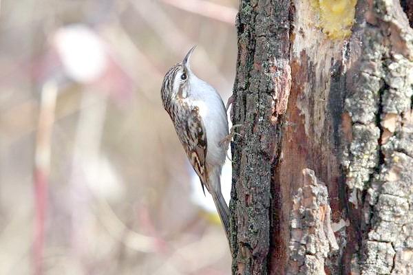 Піщуха звичайна (Certhia familiaris), фото птиці фотографія