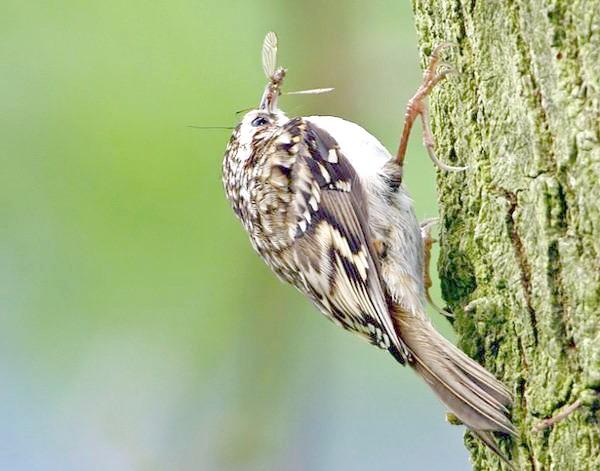 Піщуха звичайна (Certhia familiaris), фото горобині птахи фотографія