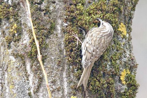 Піщуха звичайна (Certhia familiaris), картинка птиці зображення