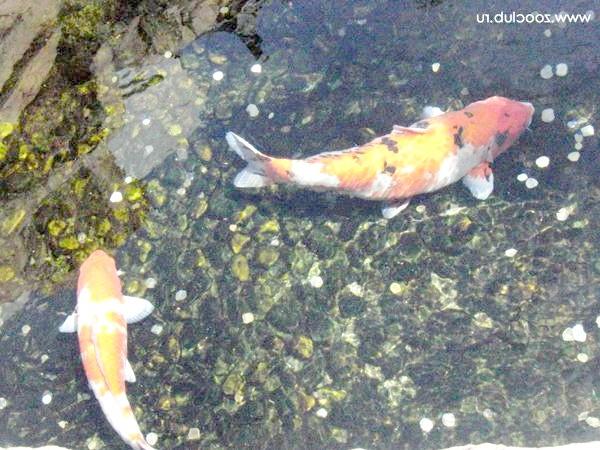 Кдаче Арпи вряди у водоймі, фото ставок водоймище зміст риб фотографія