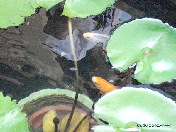 Коропи які в ставку з рослинами, фото зміст риб водоймі фотографія