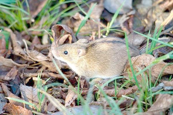 Польова миша (Apodemus agrarius), фото картинка гризуни