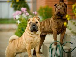 Породи собак на букву до