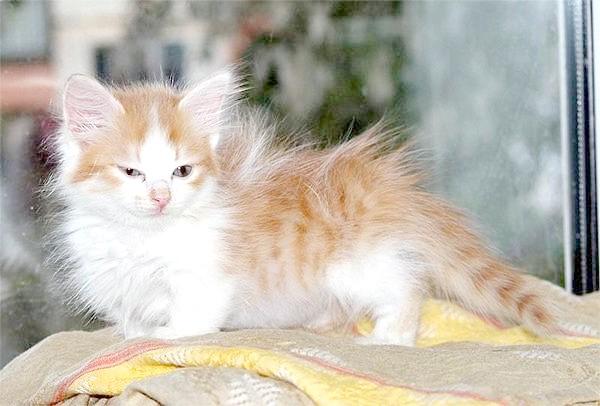Кошеня манчкін, фото поведінка кішки фотографія