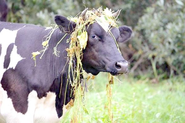 Корова, фото парнокопитні тварини фотографія