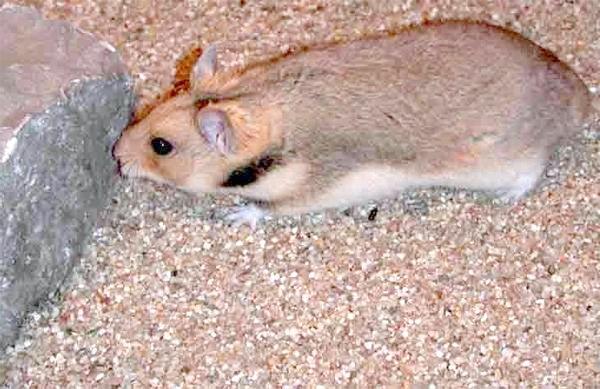 Прометеєвого полівка (Prometheomys schaposchnikovi), фото гризуни фотографія картинка тварини