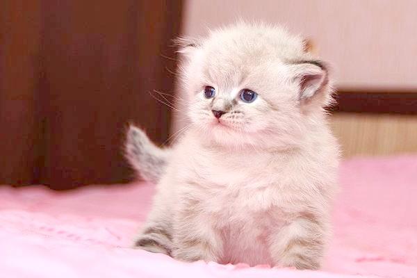 Сибірський кошеня, кішки фото, породи кішок фотографія