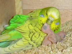 Розведення папуг