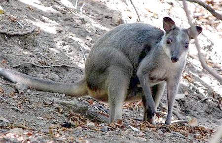 Dorcopsis muelleri Lesson, 1827 = Сірий валлабі [кенгуру], фото сумчасті тварини фотографія