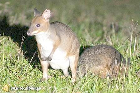 Hypsiprymnodon moschatus Ramsay, 1876 = Мускусний [цепконогій] кенгуру, мускусна кенгуровий щур, цепконог, фото сумчасті тварини фотографія