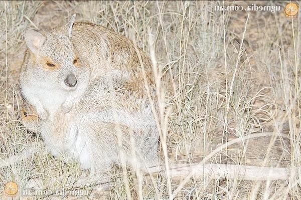 Очковий кенгуру (Lagorchestes conspicillatus), фото сумчасті тварини фотографія картинка
