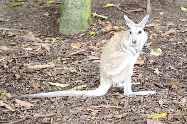 Короткокоготний кенгуру (Onychogalea fraenata), фото сумчасті тварини фотографія картинка