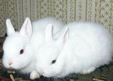 Рід: oryctolagus liljeborg, 1873 = кролики