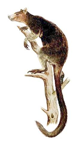 Короткохвостий кенгуру, або квокки (Setonyx brachyurus), картинка сумчасті тварини рисунок