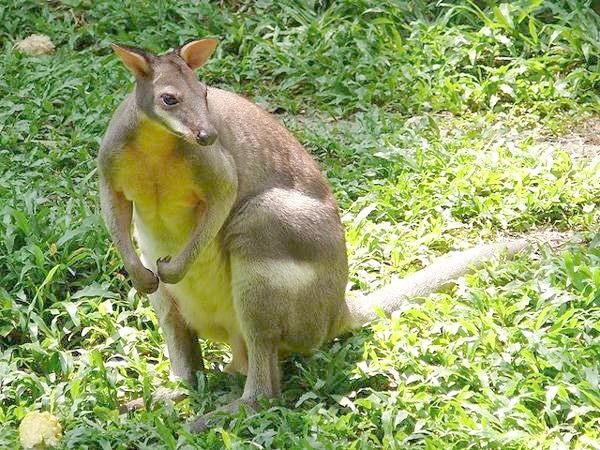 Червононогий Філандер, або обпалений кенгуру (Thylogale stigmatica), фото сумчасті тварини фотографія картинка