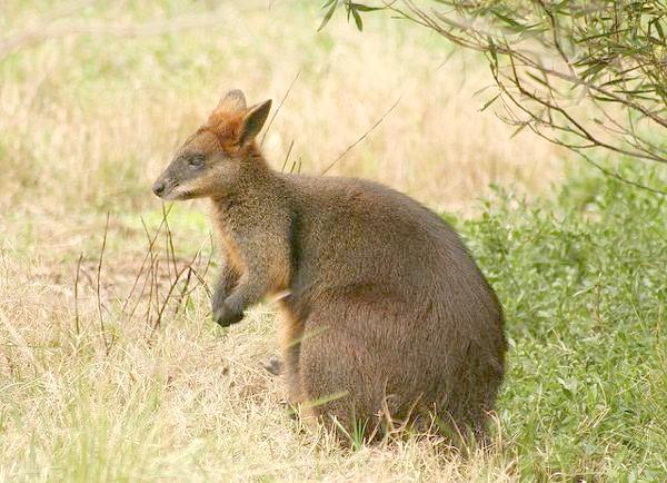 Болотний валлабі (Wallabia bicolor), фото сумчасті тварини фотографія картинка