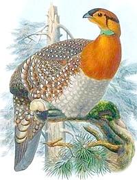 червоноголовий фазан, фазан червоноголовий (Tragopan blythii), фото, фотографія