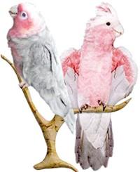 рожевий какаду (Eolophus roseicapillus)