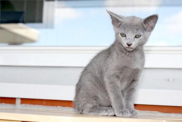 Кошеня російської блакитної кішки, фото породи кішок фотографія