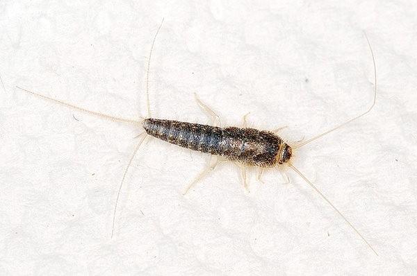 Цукрові чешуйніци (Lepisma saccharina), фото комахи фотографія картинка