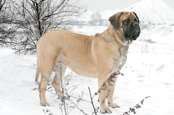 Англійський мастиф, фото породи собак картинка зображення