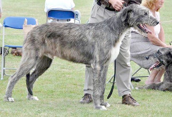Ірландський вовкодав, фото породи собак малюнок зображення