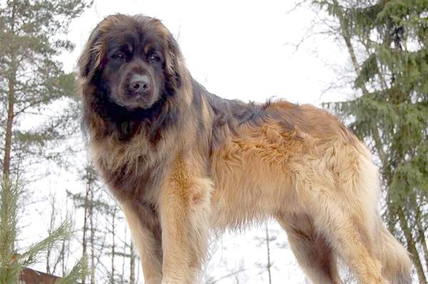 Леонбергер, фото породи собак картинка фотографія