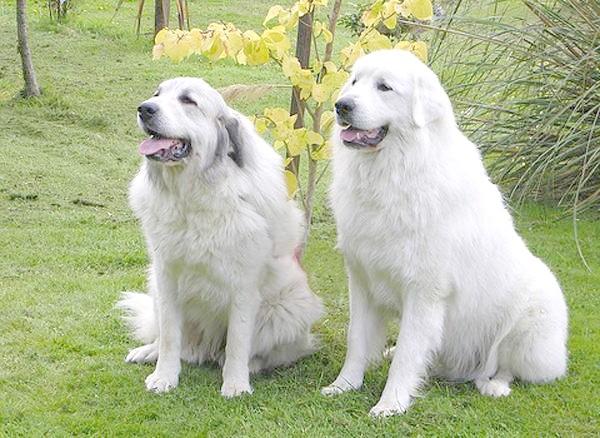 Пиренейские гірські собаки, фото породи собак малюнок зображення