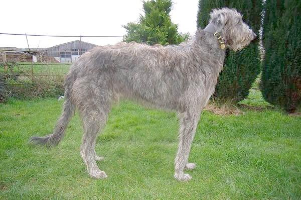 Дірхаунд, або шотландська хорт, фото породи собак зображення фотографія