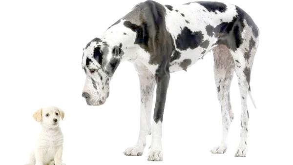 Німецький дог, фото породи собак фотографія картинка