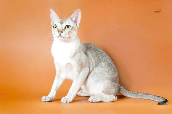 Сінгапурська кішка, сінгапуру, фото породи кішок фотографія картинка