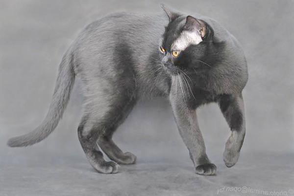 Бомбейська кішка, бомбей, фото породи кішок картинка