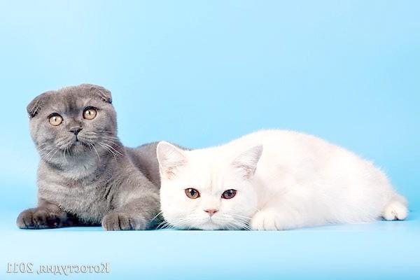 Британська короткошерста та шотландська висловуха кішки, фото породи кішок фотографія