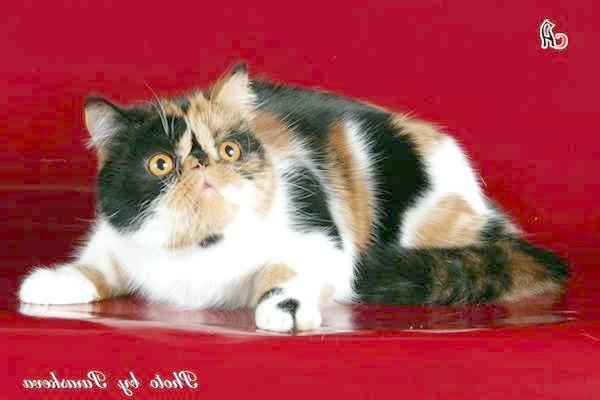 Екзотична короткошерста кішка, екзот, фото породи кішок картинка