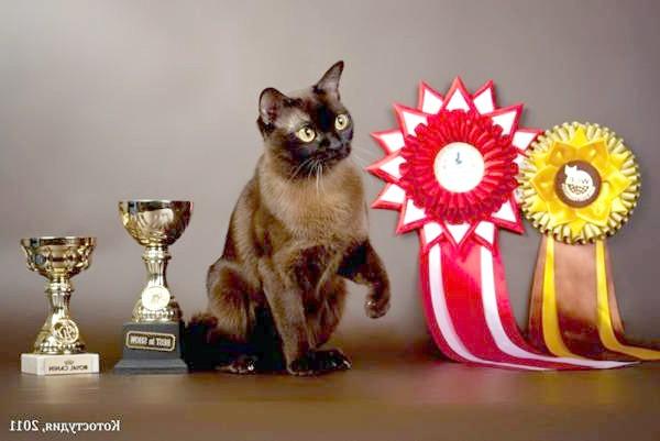 Бурманська кішка, бурма, фото картинка породи кішок зображення