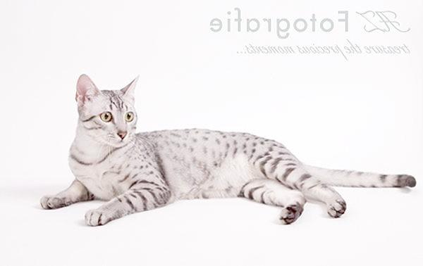 Єгипетський мау мао, фото породи кішок фотографія