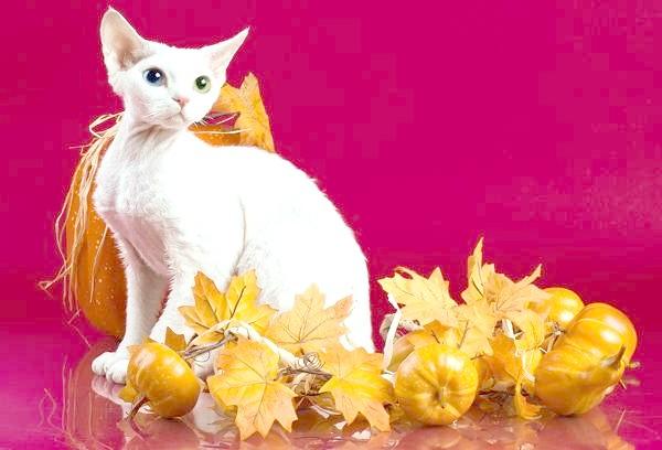 Девон рекс, фото породи кішок фотографія картинка