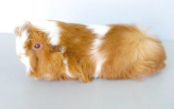 Морська свинка породи Альпака, фото свинки гризуни фотографія
