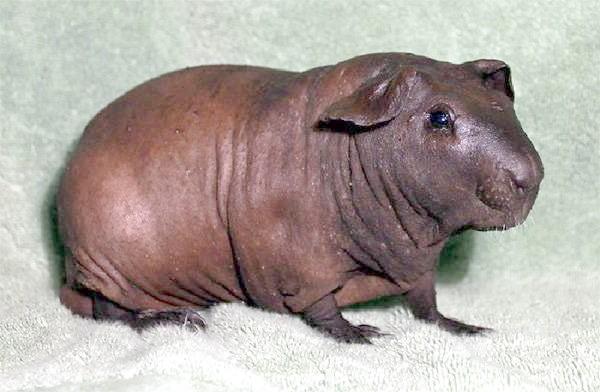 Морська свинка Болдуін, фото гризуни картинка