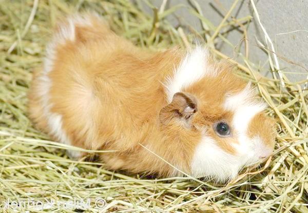 Абиссинская, або розеткова морська свинка, фото свинки фотографія