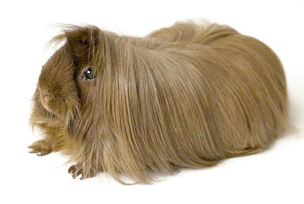 Перуанська морська свинка, фото гризуни зображення картинка
