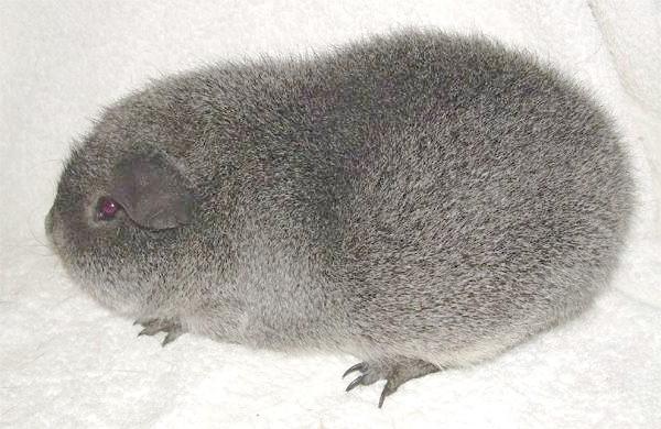 Королівські морські свинки, або Рекс, фото гризуни фотографія картинка
