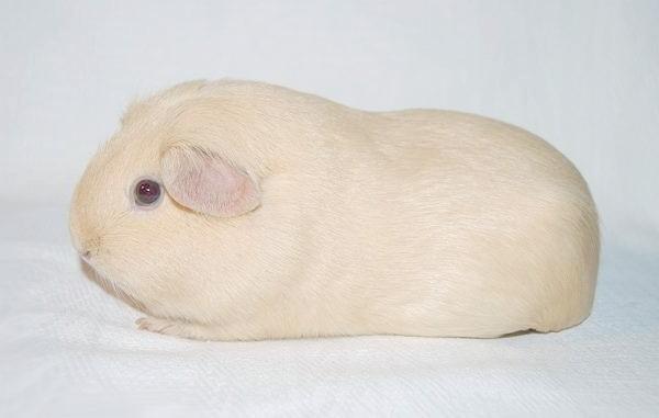 Морська свинка породи селф, фото гризуни фотографія